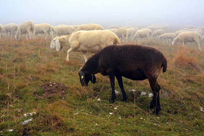 sheep-2805053_1920-945x631